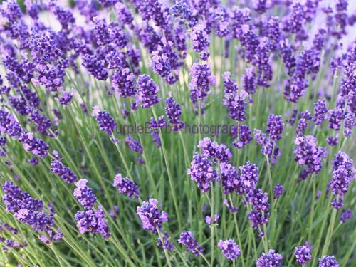 Calming Lavender
