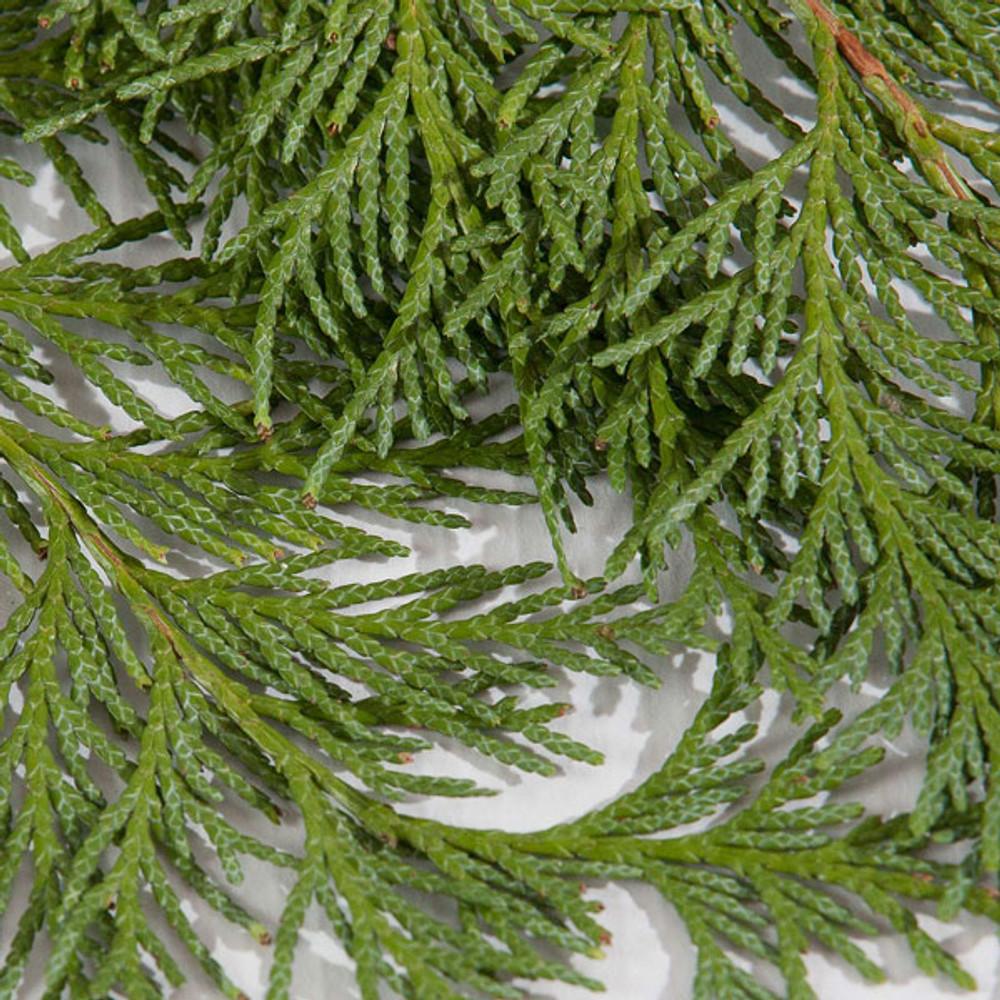 Port Orford cedar boughs harvested fresh from Oregon forests