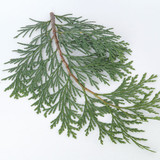 Incense cedar boughs harvested fresh from Oregon forests