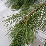 Princess (Western White) pine boughs harvested fresh from Oregon forests