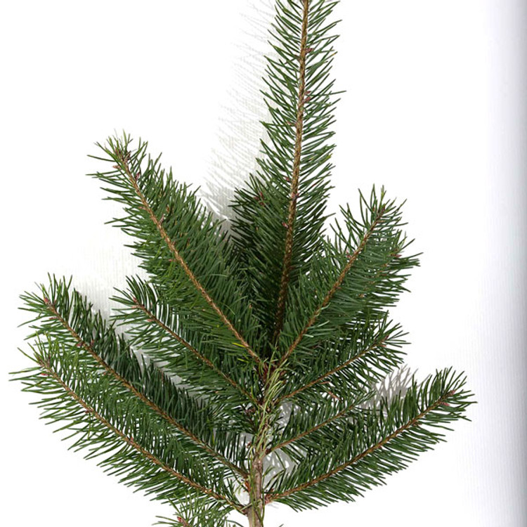 Douglas fir boughs harvested fresh from Oregon forests