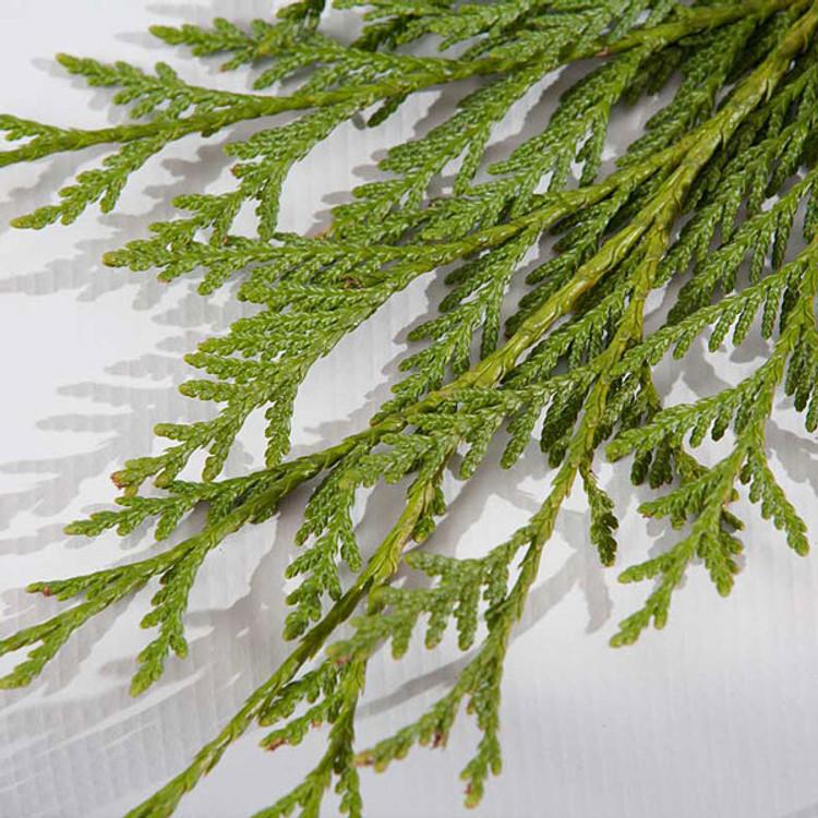 Western redcedar boughs harvested fresh from Oregon forests