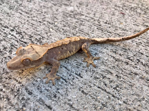 Crested Gecko for sale (Correlophus ciliatus) - CB3