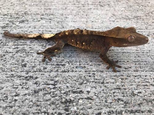 Crested Gecko for sale (Correlophus ciliatus) - CB1