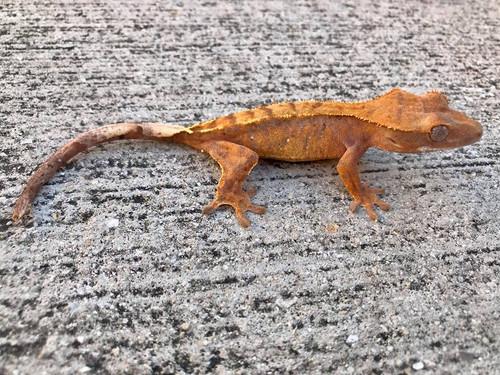 Crested Gecko for sale (Correlophus ciliatus) - QA3