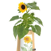 Only 1 Left! Sunflower Garden In A Bag: Easy To Grow Indoors On Any Sunny Windowsill!