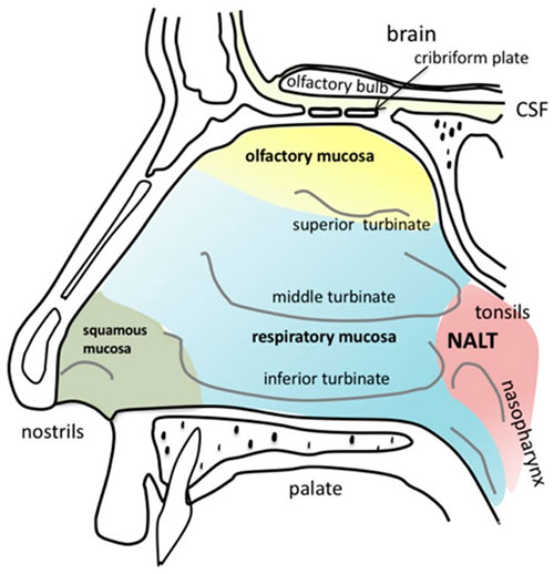 Anatomy of the human nasal cavity