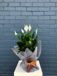 Peace Lily (gift wrapped)