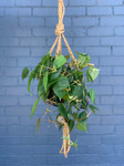 Hanging Terrarium - Philodendron Heart Leaf