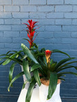 Gift Wrapped Bromeliad