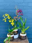 Potted Oncidium Orchid