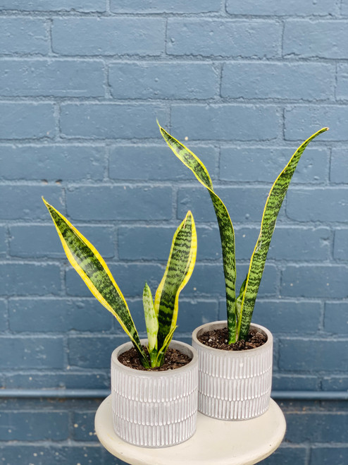 Mini Snake Plant in Concrete Planter