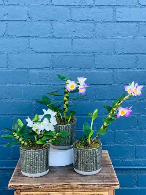 Potted Dendrobium Orchid