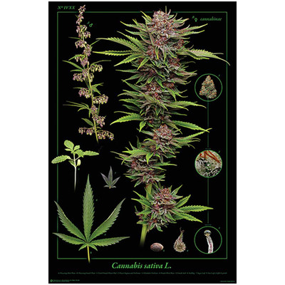 Cannabis Anatomy Poster