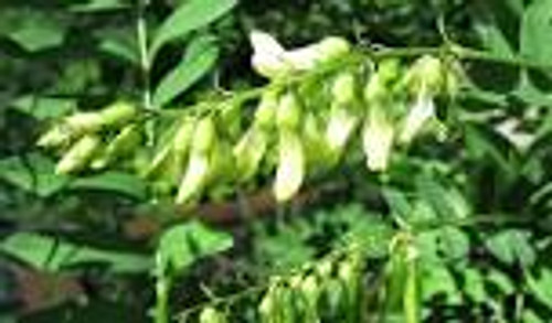 Picture of Astragalus plant