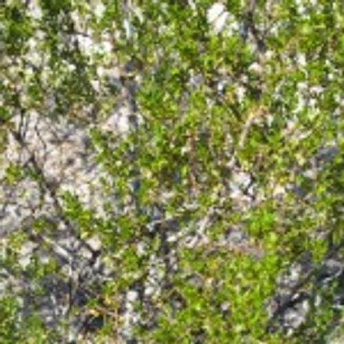 Chaparral plant