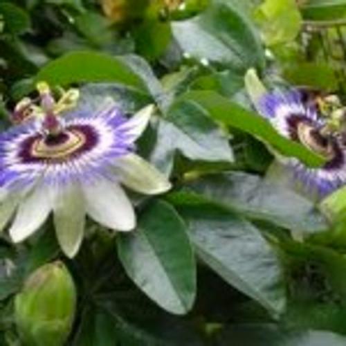 Passionflower Tincture