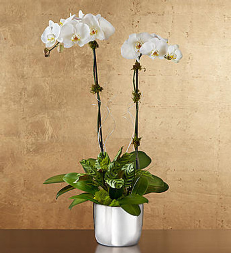 Silver Celebration Orchids All celebrations should be marked by a gift this unforgettable! We've taken our stunning white Phalaenopsis orchid plant and paired it with a shimmering keepsake silver planter. Whether it's to celebrate 25 years of marriage, a milestone birthday or just another day, it will be hard to tell what's more dazzling—the gift or her smile.
