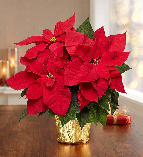 Our Christmas poinsettia brings the beauty of the season to life. Featuring vibrant red blooms and rich green leaves, it's no wonder it's a holiday favorite. Arriving in a this classic gift will have friends, family, coworkers, everyone getting into the Christmas spirit !