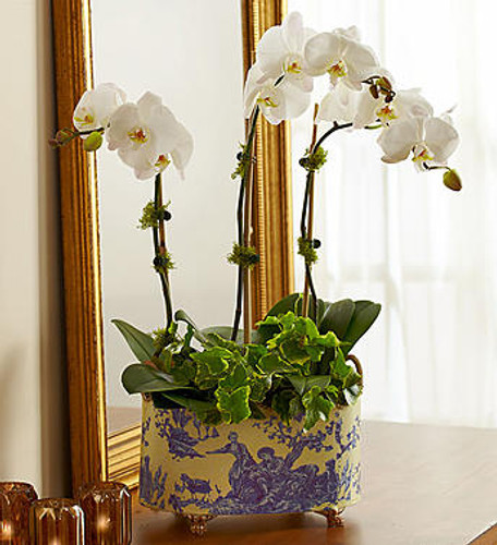 """Dubbed the """"moth orchid"""" for its likeness to a moth in flight, the Phalaenopsis orchid is the essence of grace. Our three-stem white orchid arrives in an elegant blue and white print tin with gold handles and feet, certain to impress in any décor. Add a package of Miracle Gro® Orchid Plant Food Spikes to keep your plant growing and thriving."""