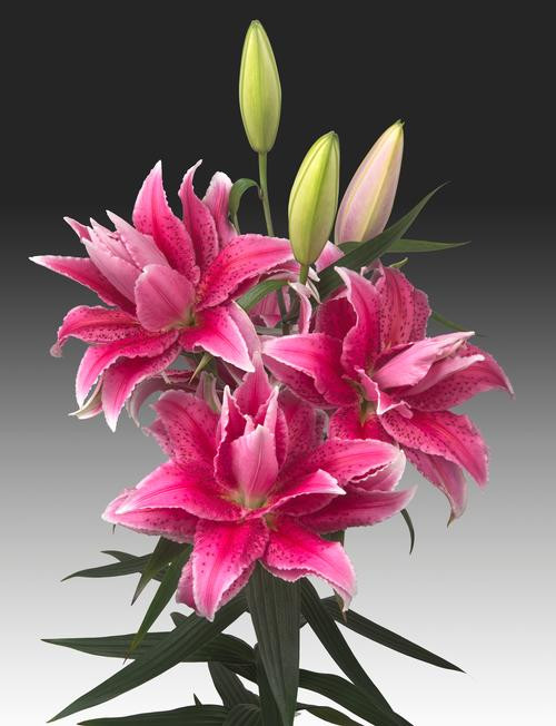Enjoy these rare beauties! Rose Lilies are special series of multi-layered lilies. As you can see, when Rose Lilies are fully open, they resemble the stratified characteristics of a rose, while still boasting the exceptionally positive attributes of a lily.   (Bouquet is arranged in vase with 10 stems of Rose Lilies complimented with floral greens)