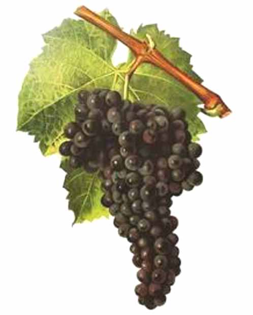Mighty Mourvedre - The Bold Varietal in Australian Wine History