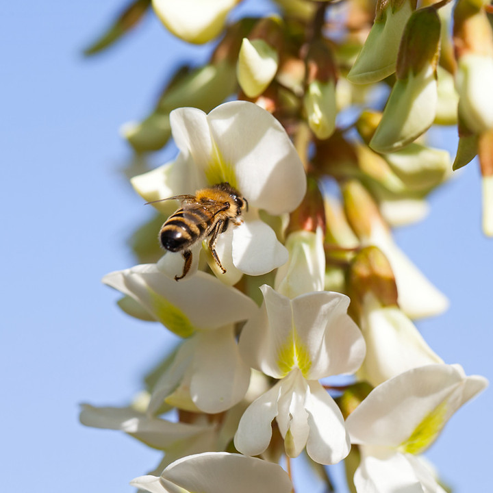 Honeybees make this single-varietal gem from the delicate nectar of Robinia pseudoacacia, known as Acacia in Europe.