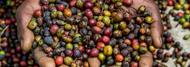 Ultimate Guide on Kenya Coffee