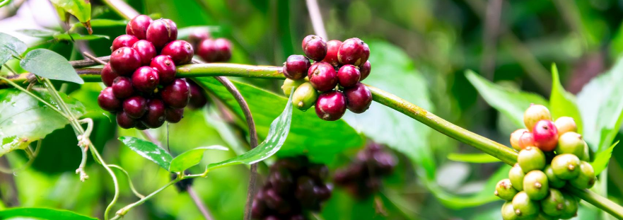 Ultimate Guide on Sumatra Coffee