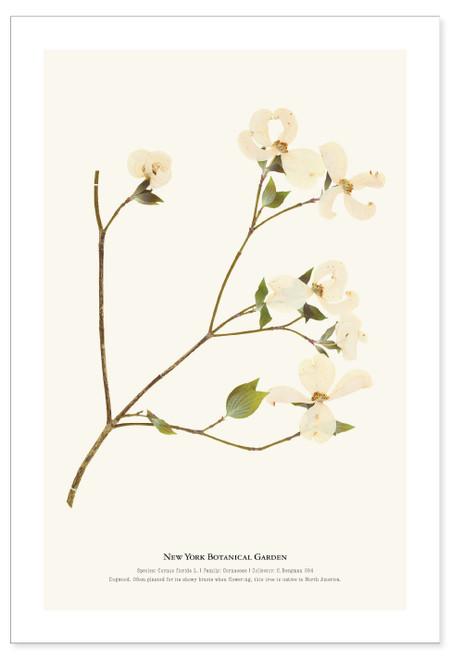 NYBG Herbarium Flowering Dogwood Print