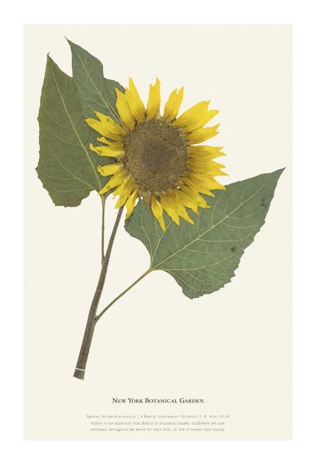 NYBG Herbarium Sunflower Print
