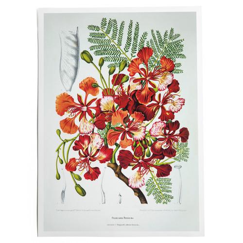 Royal Poinciana Print