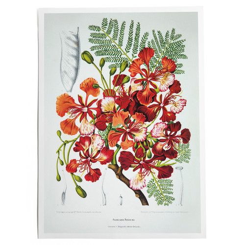 Royal Poinciana Print