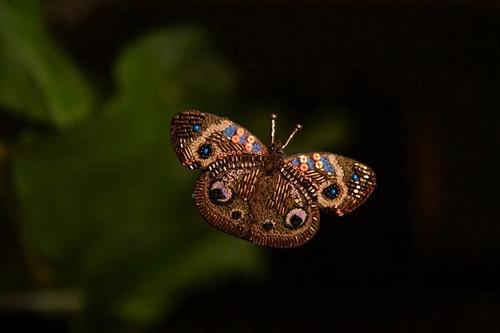 Buckeye Butterfly Pin
