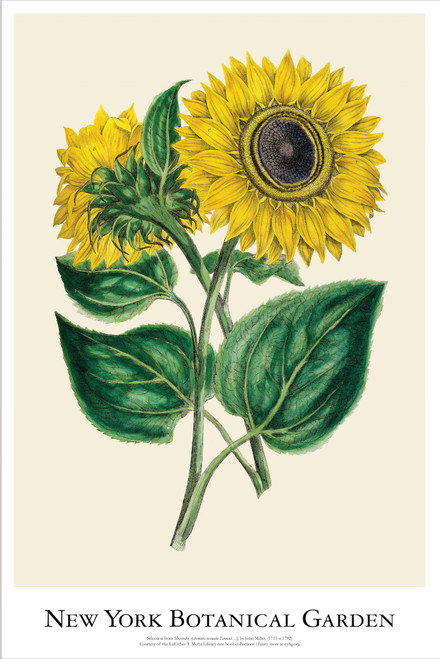 NYBG Sunflower Poster