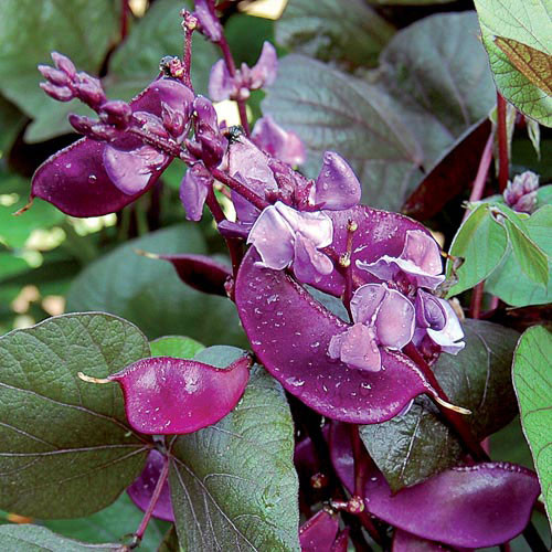 Seed Savers - Ruby Moon Hyacinth Bean