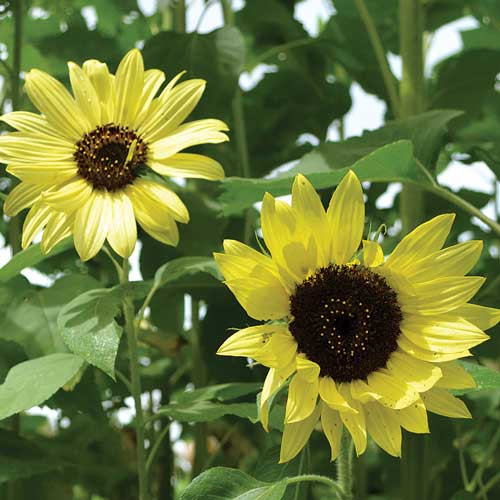 Seed Savers - Lemon Queen Sunflowers
