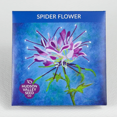 Hudson Valley Seed Library - Spider Flower