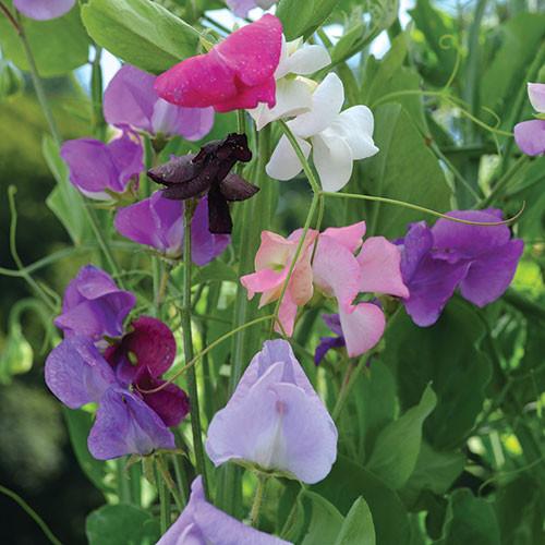Seed Savers - Sweet Pea Grandiflora Mix