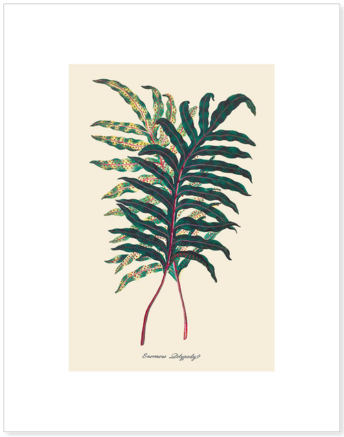 Enormous Polypody Matted Print
