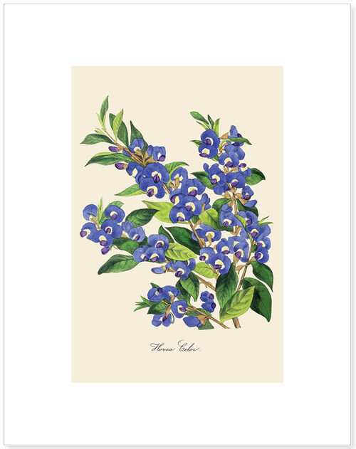 Hovea Celsi Matted Print