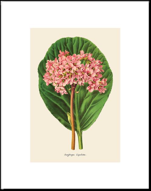 Saxifraga Ligulata Matted Print