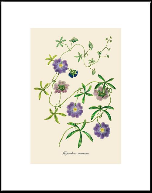 Tropaeolum Azureum Matted Print