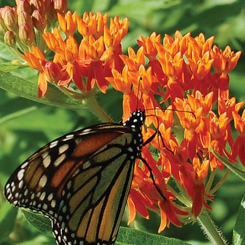 Seed Savers - Butterflyweed