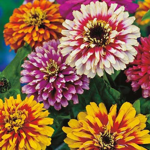 Seed Savers - Whirlygig Mix Zinnia Flower