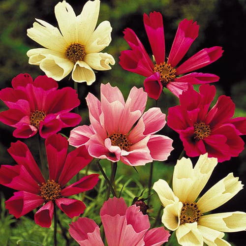 Seed Savers - Sea Shells Cosmos Mix
