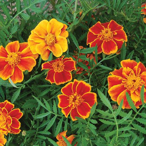 Seed Savers - Red Marietta Marigold