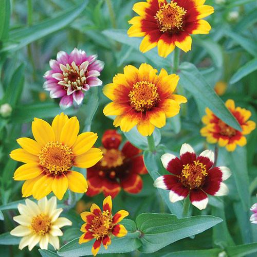 Seed Savers - Persian Carpets Zinnia