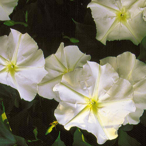 Seed Savers - Moonflower