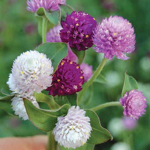 Seed Savers - Globe Amaranth